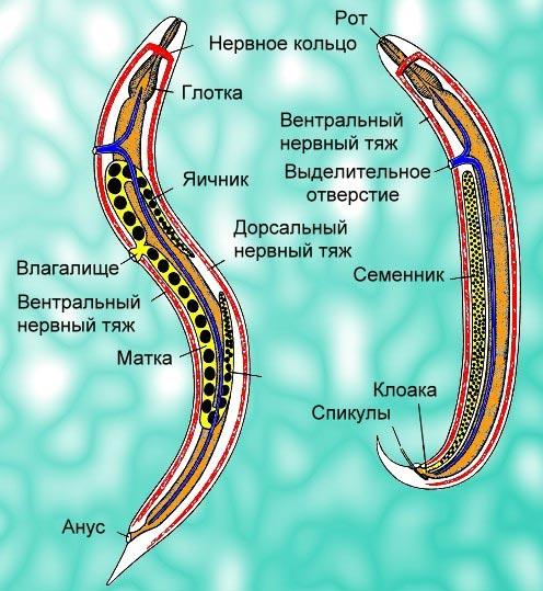 Размножение аскариды