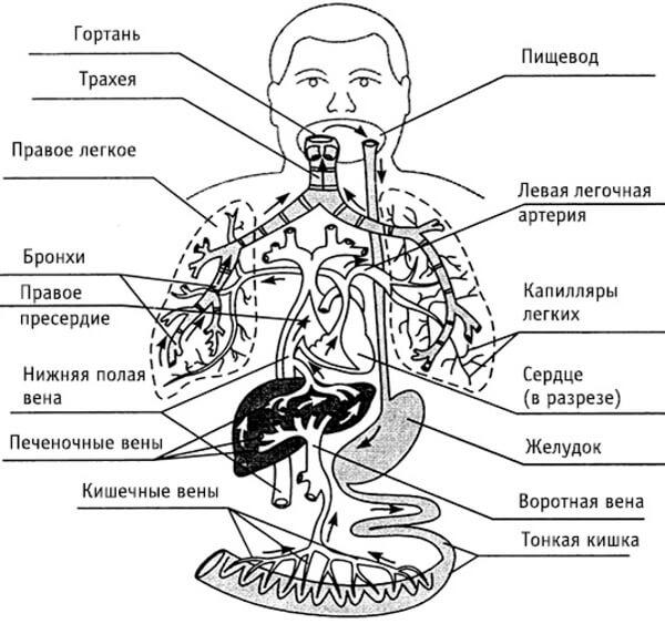 Миграция личинок аскарид