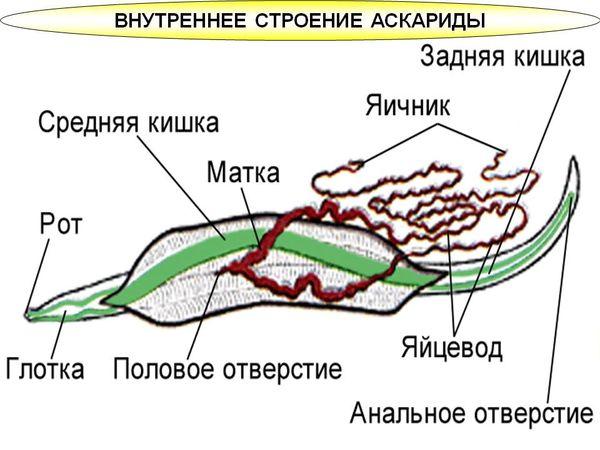 Внутреннее строение аскариды