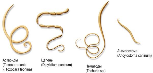 Некоторые виды гельминтов
