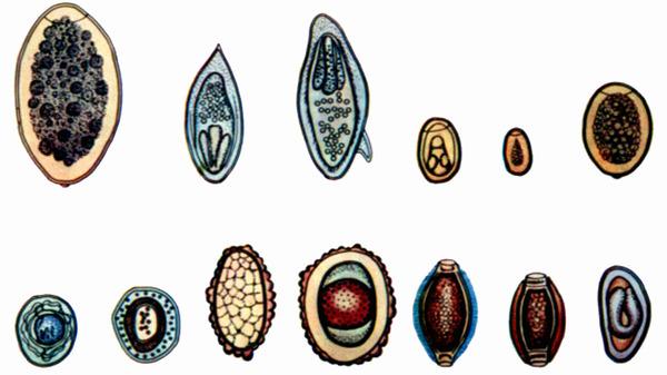 Яйца глистов