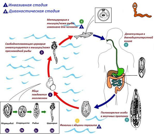 Стадии развития трематод