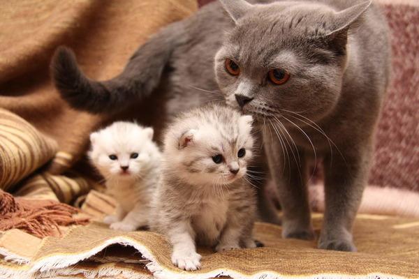 Котята заражаются глистами от матери еще во внутриутробном периоде