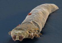 Подкожный паразит