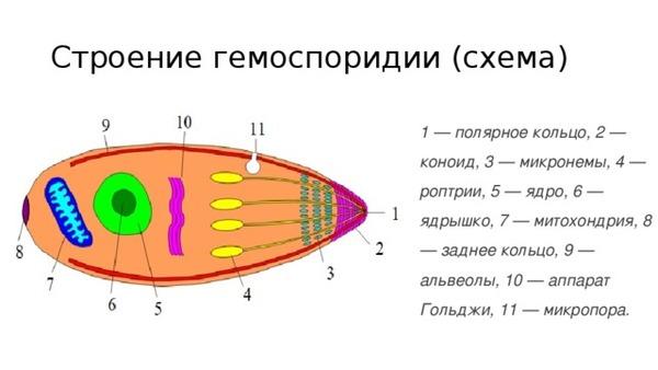 Схематическое строение гемоспоридии