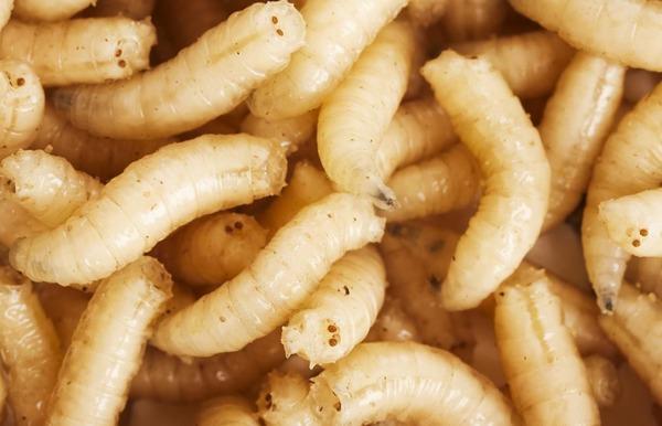 Опарыши - личинки зеленой мухи