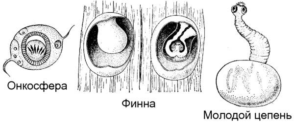 Развитие онкосферы