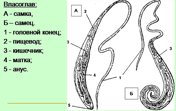 Строение гельминтов