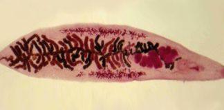 Возбудитель дикроцелиоза
