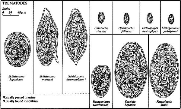Яйца гельминтов вида трематоды
