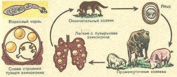 Эхинококкоз лечение