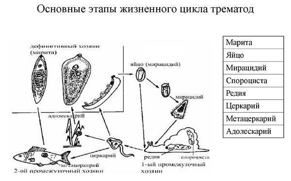 Основные этапы жизненного цикла трематод