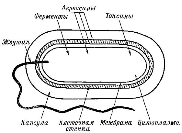 Строение стафилококка