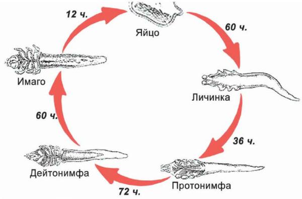 Жизненный цикл возбудителя демодекоза