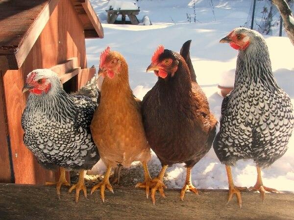 Народные средства от куриных вшей