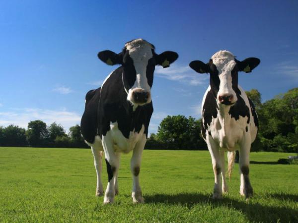 Трихомониаз крупного рогатого скота