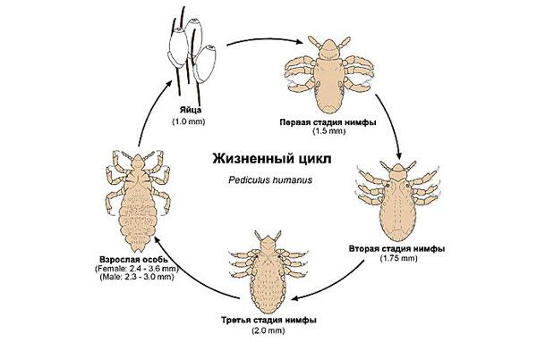Цикл развития головной вши