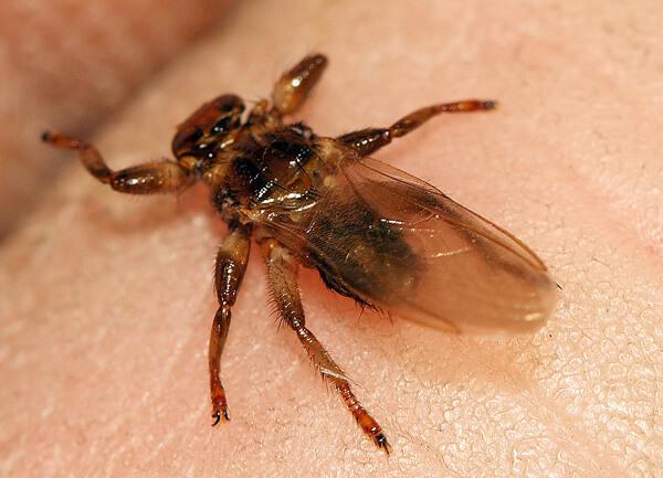 Лосиная муха