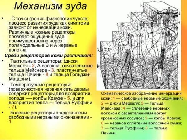Физиология нервной чесотки