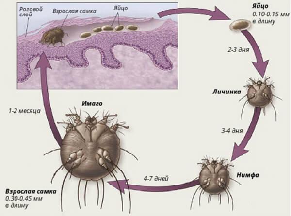 Жизненный цикл чесоточных клещей