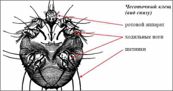 Строение тела чесоточного клеща