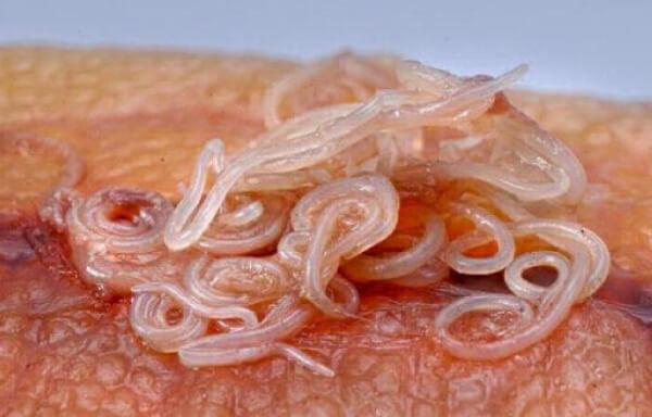 Фото гельминтов в рыбе