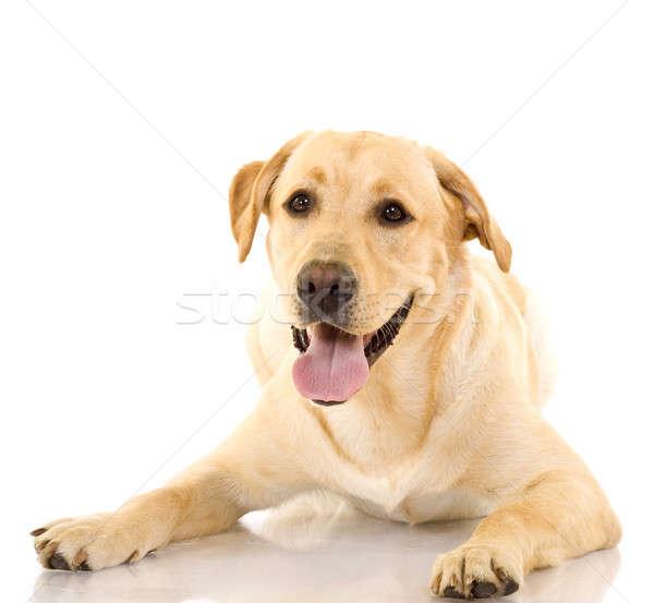 Кутереброз у собак