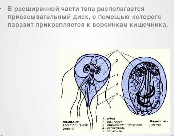 Строение тела лямблий