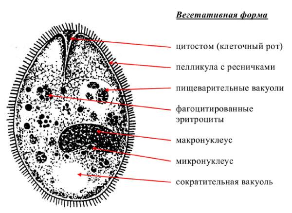 Единственная инфузория среди человеческих паразитов