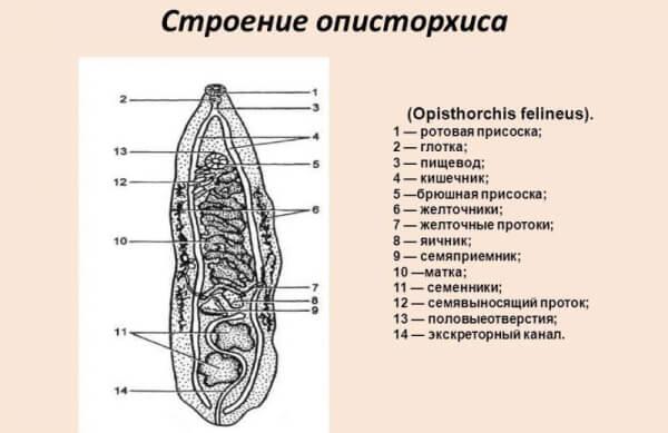 Описторхоз промысловых пород рыбы