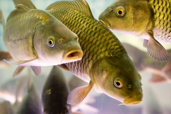 Погибают ли паразиты в рыбе при засолке?