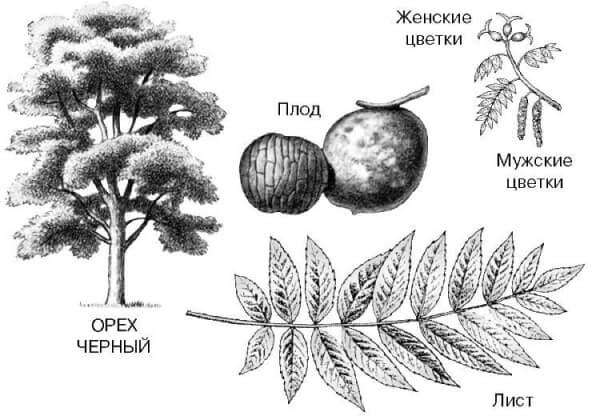 Черный орех: лист, дерево, цветки, плоды