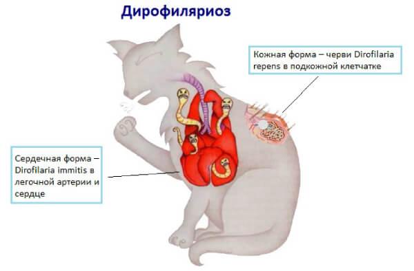 Формы дирофиляриоза