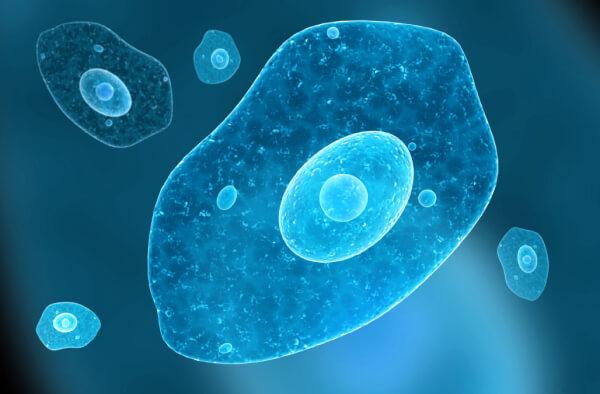 Дизентерийная амеба под микроскопом