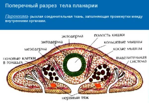 Строение белой планарии