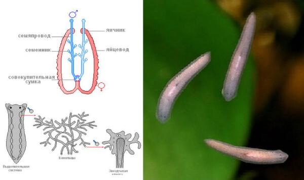 Размножение белой планарии