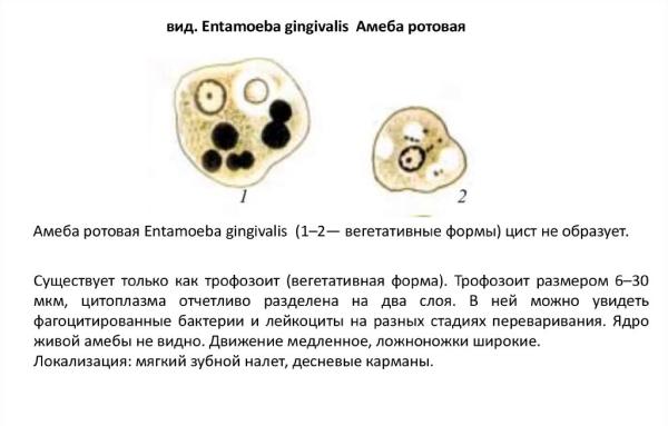 Описание ротовой амебы