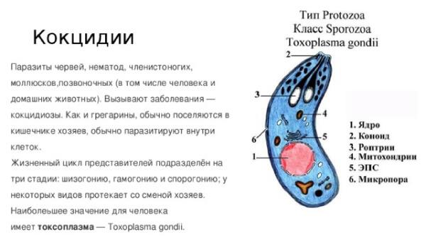Токсоплазмоз - одна из разновидностей кокцидиоза