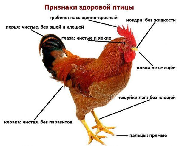 Профилактика паразитовзов у домашней птицы