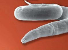Основные виды опасных для человека биогельминтов