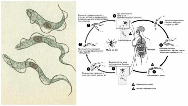 Жизненный цикл трипаносомы крузи