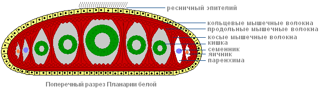 Разрез белой планарии