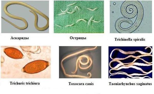 Некоторые виды распространенных глистов
