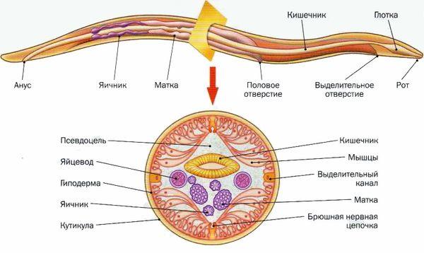 Внутреннее строение гельминта