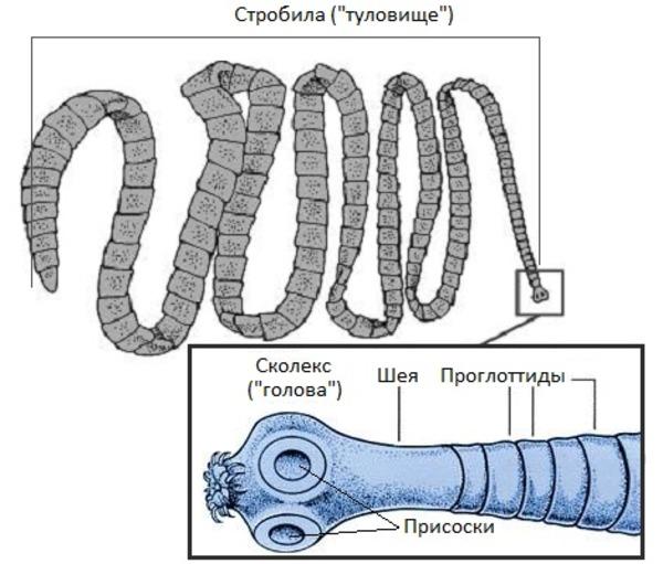 Строение ленточного червя