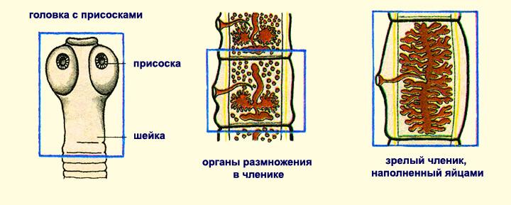 Органы размножение бычьего цепня