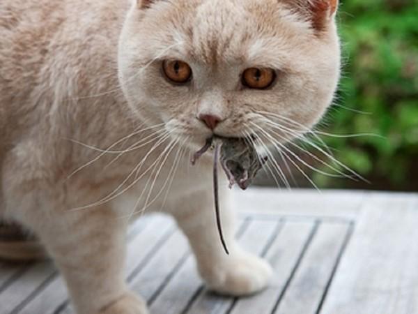 Кошка может заразится от грызунов