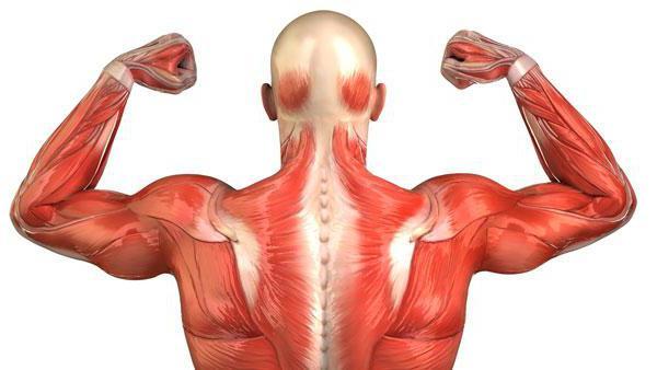 Некоторые разновидности гельминтов могут жить в мышцах