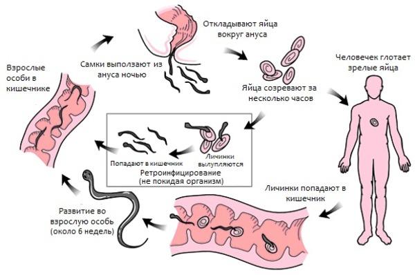 Развитие гельминта