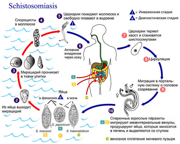 Развитие шистосомы